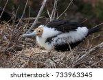 this is a juvenile frigate bird ... | Shutterstock . vector #733963345