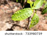 Leaf Gall On Leaves At Forty...