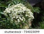 Small photo of American elder flower (Sambucus simpsonii Rehder) a white flower .