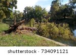 Willow Tree Uprooted By Strong...