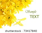 Floral background of fresh yellow mum blossoms on white with copy space. - stock photo
