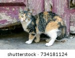 Cute Calico Cat Kitten With Ol...