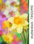 Close Up Of Daffodils