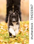 Stock photo shetland sheepdog puppy playing in the autumn 734223367