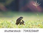butterfly lizard  small scaled... | Shutterstock . vector #734323669