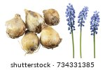 bulbs and blue flowers of... | Shutterstock . vector #734331385