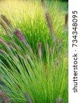 ornamental grass   pennisetum...   Shutterstock . vector #734348095