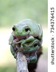 Small photo of Tree frog, dumpy frog on branch