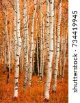 colorful aspen glade in the... | Shutterstock . vector #734419945