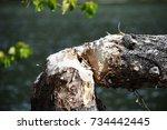 Broken Tree After Beaver Attack