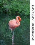 Small photo of American Flamingo in the lake on green grass background