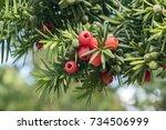 taxus baccata european yew is... | Shutterstock . vector #734506999