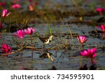 Small photo of Beautiful adult White-browed crake (Amaurornis cinerea) stand upon the swamp with the water lily in the nature,Bung Boraphet the biggest swamp in Thailand.