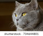 Close-up photo of a gray cat's head with yellow eyes on a blurred background - stock photo