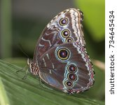 The Blue Morpho  Morpho...