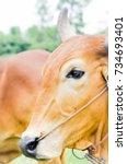 Small photo of American Brahman Cow on the farm