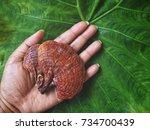 ganoderma lucidum   ling zhi... | Shutterstock . vector #734700439