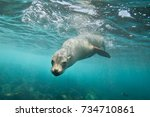curious sea lion | Shutterstock . vector #734710861