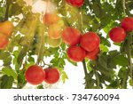 Red Ripe Tomatoes On Vine...