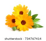 Calendula. marigold flower with ...