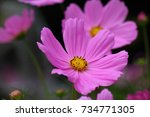 Small photo of Cosmos / Andersen Park in Funabashi city, Chiba JAPAN