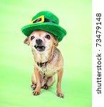 An Irish looking chihuahua - stock photo