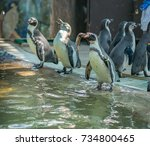 feeding time for penguins at a...   Shutterstock . vector #734800465