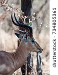 Small photo of Close up of a male Impala (Aepyceros melampus) in South Africa.