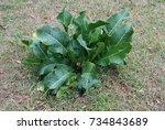 green leaves of horseradish...   Shutterstock . vector #734843689