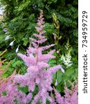 Small photo of Pink-purple panicles of bloom astilby hybrid 'Rhythm and Blues' in the garden