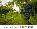 grape harvest    Shutterstock . vector #734963089