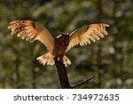 Long Eared Owl Flight On The...