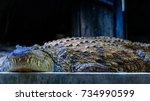 the nile crocodile  crocodylus...   Shutterstock . vector #734990599