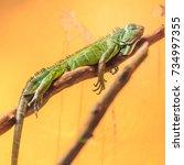 green iguana resting with her... | Shutterstock . vector #734997355