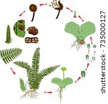 life cycle of fern. plant life... | Shutterstock .eps vector #735000127