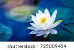 White Lotus With Yellow Pollen...