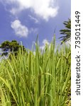 lush green lemon grass with... | Shutterstock . vector #735011449