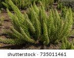 Asparagus Fern Green Plant On...