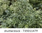 fringed rue plant green foliage ... | Shutterstock . vector #735011479