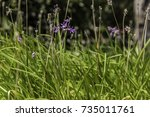wild garlic plant purple flower ... | Shutterstock . vector #735011761