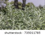 common sage shrub plant on... | Shutterstock . vector #735011785