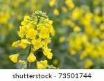 Yellow Rapeseed Flower In Bloo...