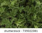 rose geranium pelargonium... | Shutterstock . vector #735022381