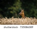 roe deer in profile | Shutterstock . vector #735086389