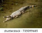 Image Of Malayan Gharial In Th...