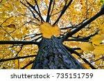 yellow tilia  lime trees
