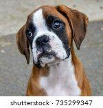Sad Boxer Puppy