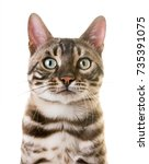 bengal cat in front of white... | Shutterstock . vector #735391075