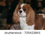 portrait of cute cavalier king... | Shutterstock . vector #735423841