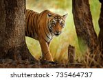 tiger walking in old dry forest....   Shutterstock . vector #735464737